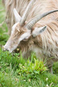 Free Long Hair Domestic Goat Royalty Free Stock Image - 2693236