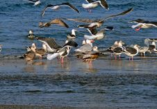 Free Slaty-backed Gulls Royalty Free Stock Photos - 2693808