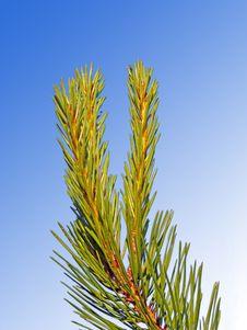 Free Pine Tree Branch Stock Photo - 2693940