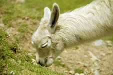 Free Peruvian Alpaca Royalty Free Stock Photography - 2694527