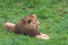 Free Lion On The Grass Royalty Free Stock Photos - 2694538