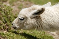 Free Peruvian Alpaca Stock Photography - 2694562