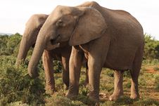 Two African Elephant Cows Royalty Free Stock Photo