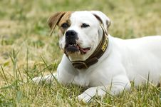 Free American Bulldog Royalty Free Stock Photo - 2696595