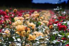 Free Field Of Roses Royalty Free Stock Photos - 2697578