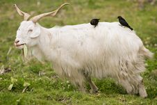 Free Two Birds Perched On A Goat Royalty Free Stock Photography - 2698077