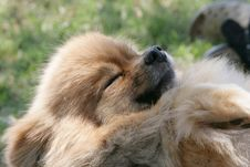 Pomeranian Sleeping On Grass Royalty Free Stock Photos