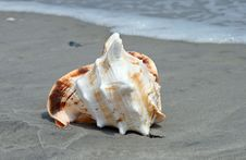 Free A Beautiful Giant Sea Shell Royalty Free Stock Image - 2698746