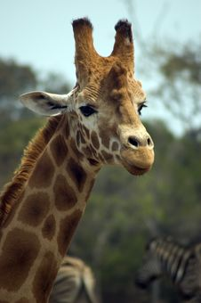 Free Giraffe Royalty Free Stock Photo - 2698775