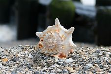 Free A Beautiful Giant Sea Shell Stock Photos - 2698803