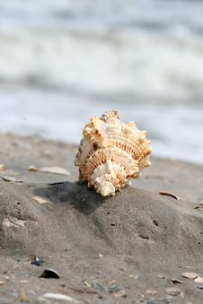 Free A Beautiful Giant Sea Shell Royalty Free Stock Images - 2698829