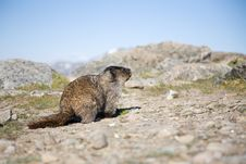 Free Hoary Marmot Royalty Free Stock Images - 2699309