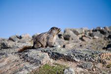 Free Hoary Marmot Stock Photo - 2699310
