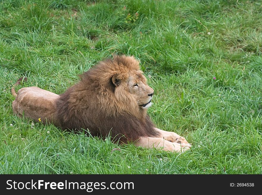 Lion on the grass