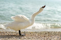 Free White Swan Royalty Free Stock Photography - 26905207