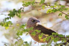 Free Babbler, Black-faced - African Bounty Stock Image - 26900951