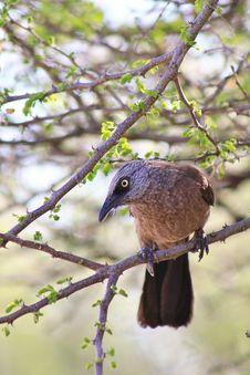 Babbler, Black-faced - African Eyes Royalty Free Stock Photos