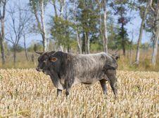 Free Rodeo Bull Royalty Free Stock Photo - 26901475