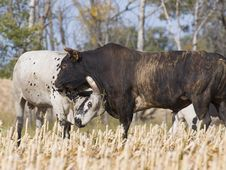 Free Bulls Fighting Stock Photography - 26901532