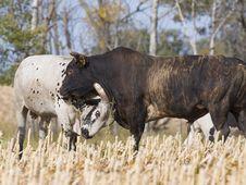 Free Bulls Fighting Stock Photography - 26901532