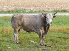 Free Large Bull Stock Photo - 26901580