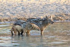 Free Jackal, Black-bakced - Sundowner Growl Royalty Free Stock Image - 26901796