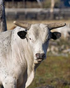 Free Big Bull Royalty Free Stock Photography - 26901807