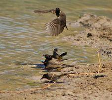 Free Redeyed Bulbul - Birds, Wild African Stock Image - 26901851