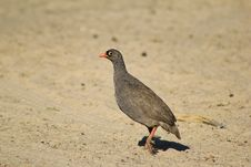 Free Follow The Eye - Francolin, Red-billed Royalty Free Stock Image - 26901906