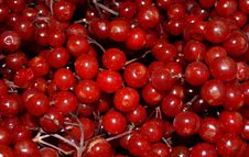 Free Guelder Rose Berries Royalty Free Stock Photography - 26904767
