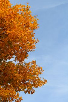 Free Ash Tree At Autumn Royalty Free Stock Photos - 26905028