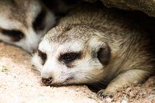 Free Two Meerkat Or Suricate Royalty Free Stock Images - 26905479