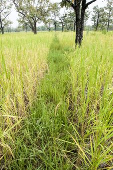 Free Paddy Rice Field Royalty Free Stock Photography - 26908637