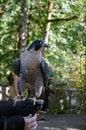Free Raptor Royalty Free Stock Image - 26912666