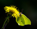 Free Butterfly Against The Light &x28;Gonepteryx Rhamni&x29; Stock Images - 26916504