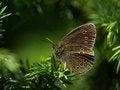 Free Butterfly Grayling &x28;Aphantopus Hyperantus&x29; Royalty Free Stock Photo - 26916715