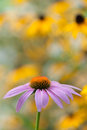 Free Purple Echinacea Closeup Royalty Free Stock Images - 26919999