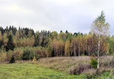 Free Birch Forest In Autumn. Stock Photos - 26910353