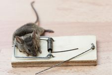 Dead Mouse In A Mousetrap Royalty Free Stock Photos