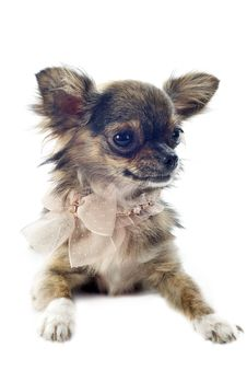 Free Brindle Chihuahua Royalty Free Stock Photography - 26913257