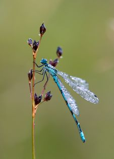 Dragonfly Dew-sprinkled &x28;Coenagrion Puella&x29; Stock Image