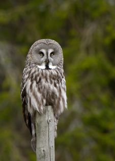 Free Great Grey Owl &x28;Strix Nebulosa&x29; Stock Photography - 26916652