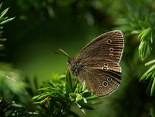 Free Butterfly Grayling &x28;Aphantopus Hyperantus&x29; Royalty Free Stock Photo - 26916715
