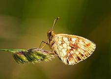 Butterfly &x28;Brenthis Ino&x29; Stock Image