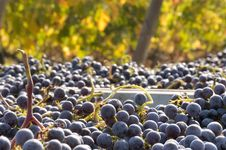 Free Freshly Harvested Grapes Royalty Free Stock Photography - 26917307