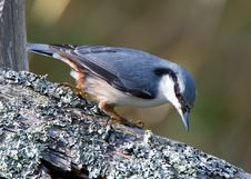 Free Nuthatch Checking Lichen &x28;Sitta Europaea&x29; Stock Photos - 26917523