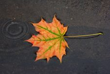 Free Autumn Maple Leaf Royalty Free Stock Photos - 26919058