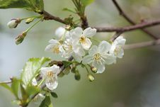 Flowering Cherry Twig Stock Images
