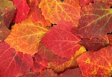 Free Colorful Poplar Leaves Royalty Free Stock Photo - 26919245