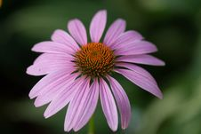 Free Purple Echinacea Closeup Royalty Free Stock Photography - 26919977